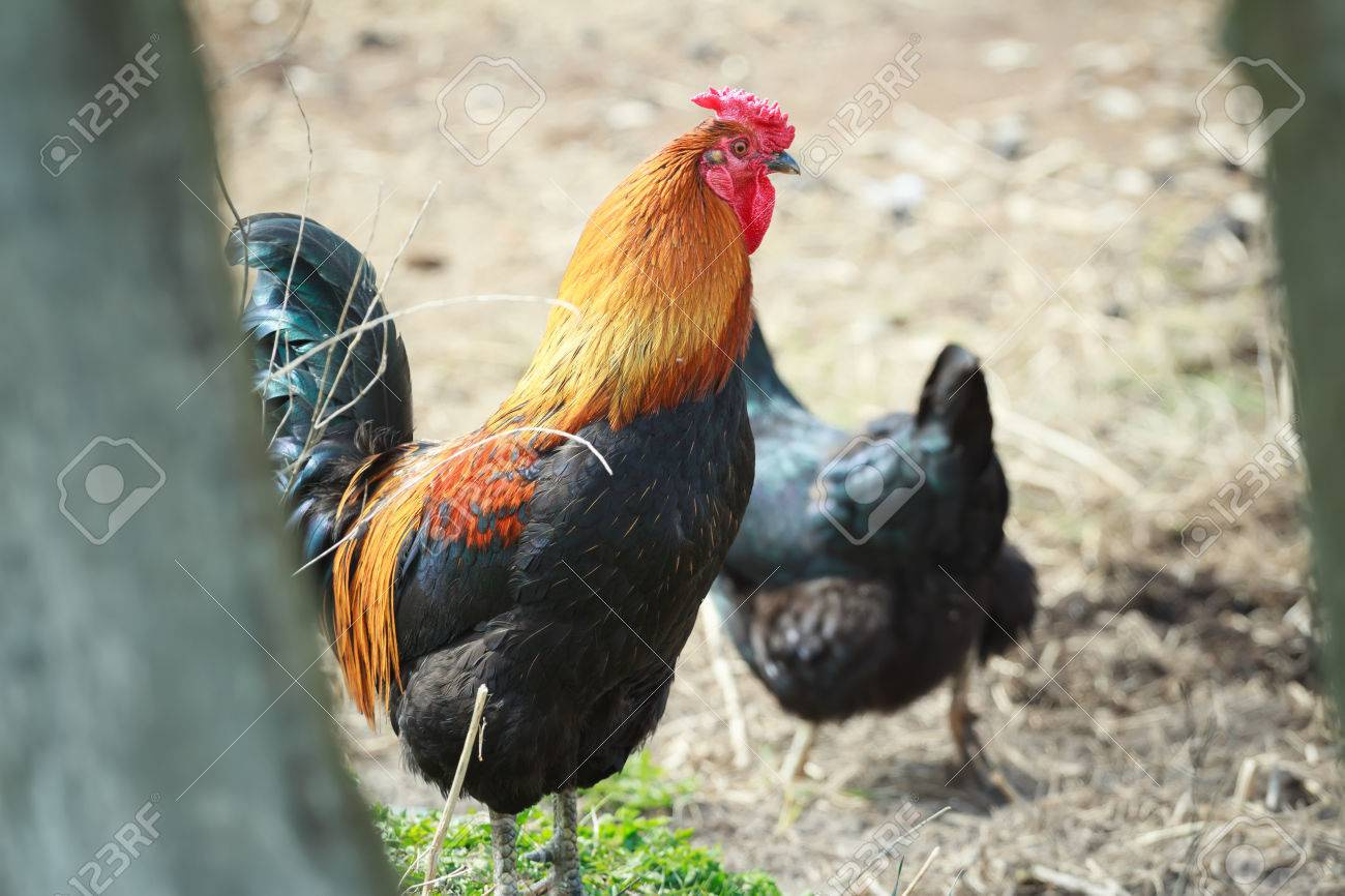 multicolor rooster and black running hen in summer farmyard stock