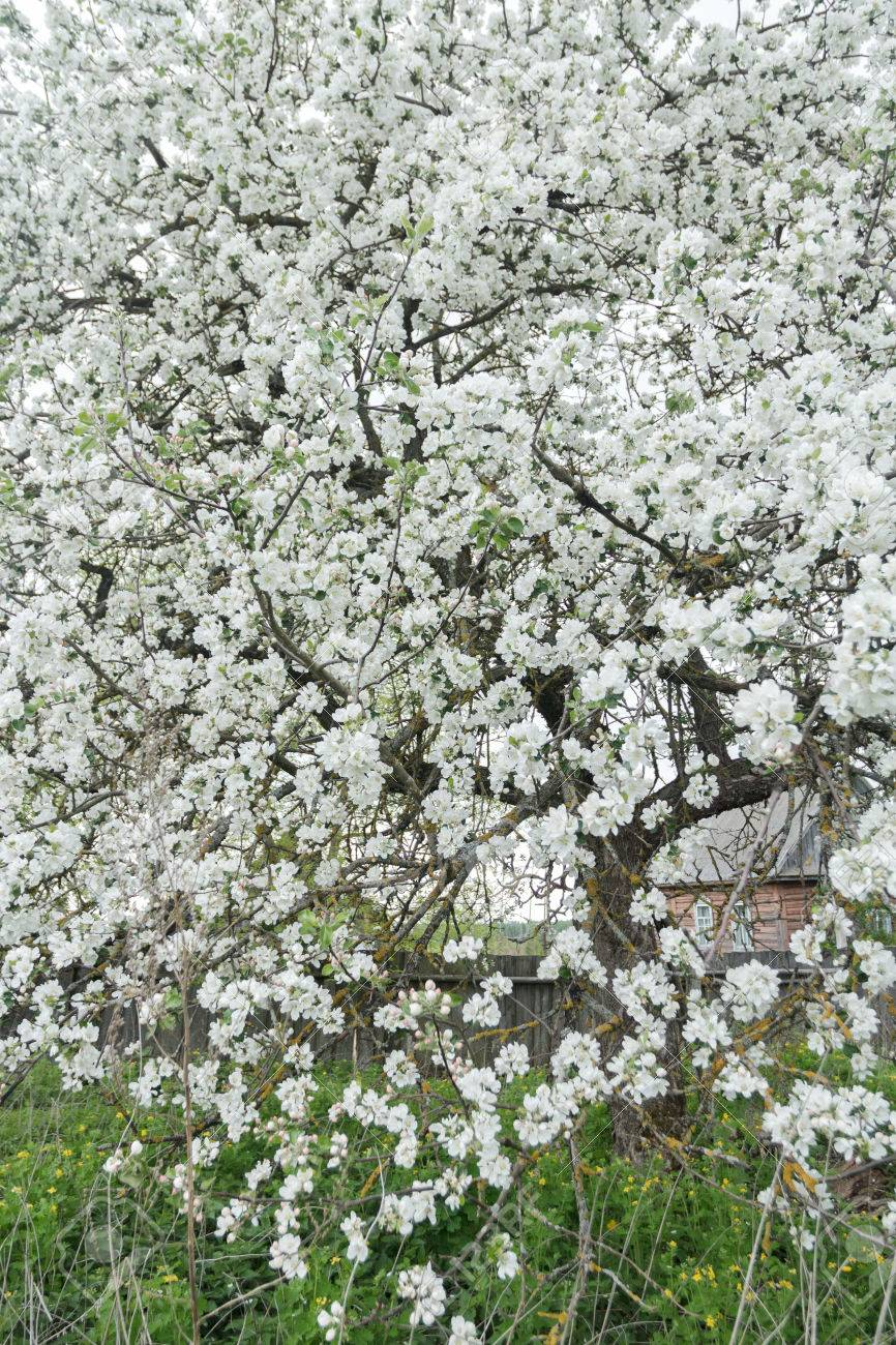 Blooming Apple Tree In Spring Garden Is Covering With Snowy White