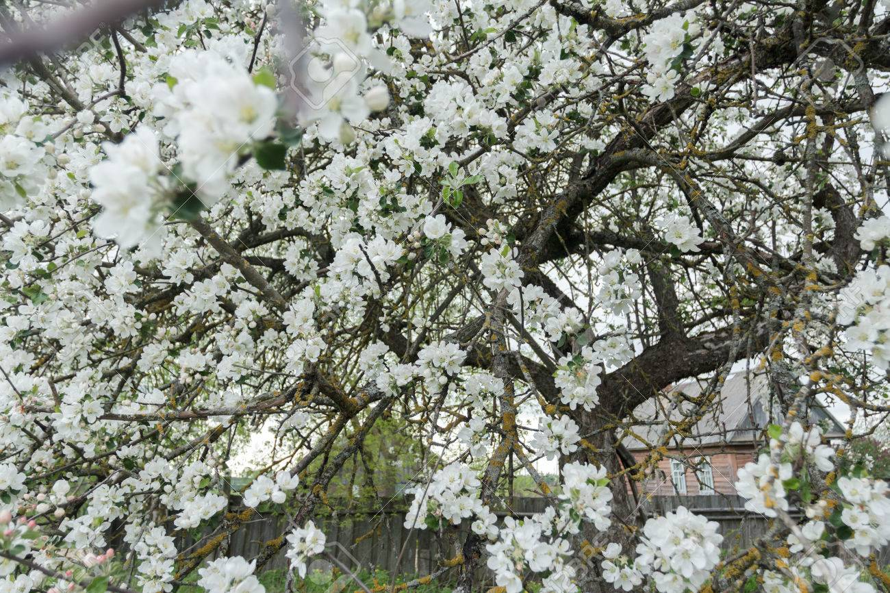 Old Garden Apple Tree In Spring Full Bloom Covering With Snowy ...
