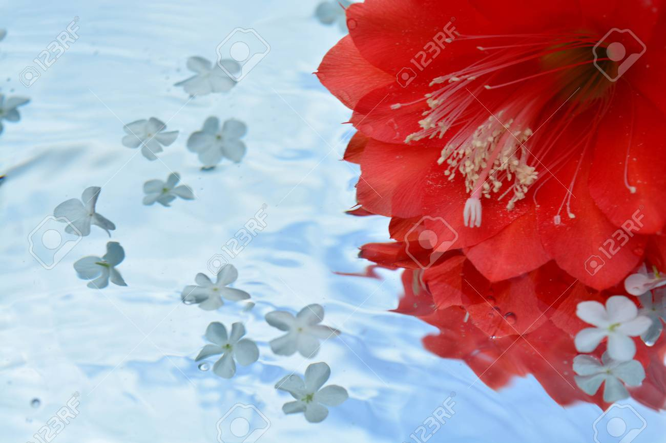 Beautiful Cactus Flower Reflected In Pure Water Stock Photo Picture
