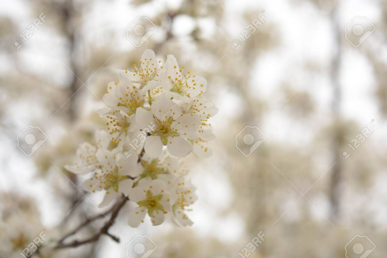 Trees White Flowers Spring Apricot Plums Sky Stock Photo