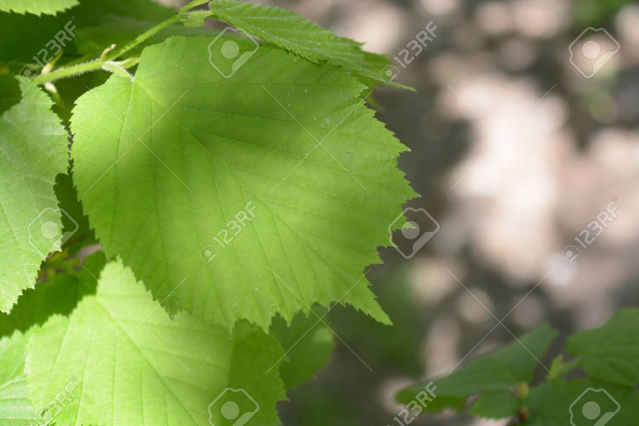 Natural Background Beautiful Green Leaves Banque D Images Et Photos