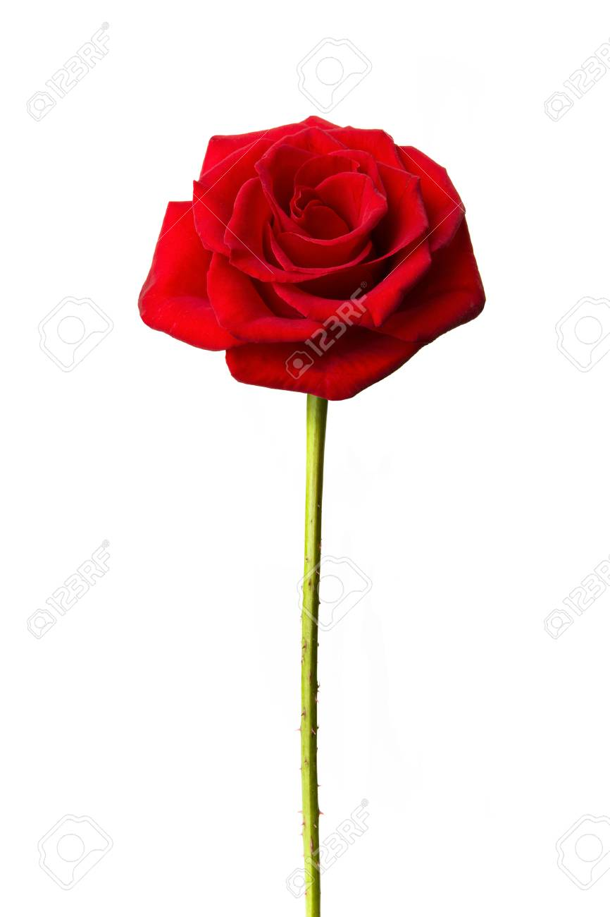 Perfect single red rose isolated on white - 85252370