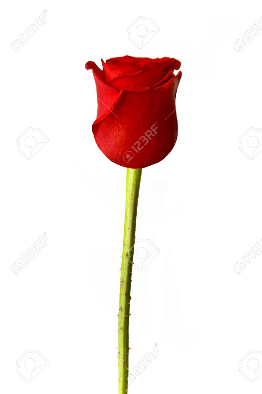 Perfect single red rose isolated on white - 85252394