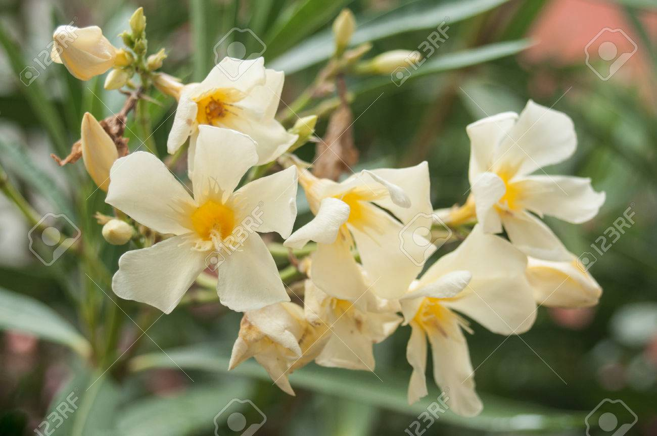 Closeup Of Yellow Oleander Flowers In A Public Garden Stock Photo