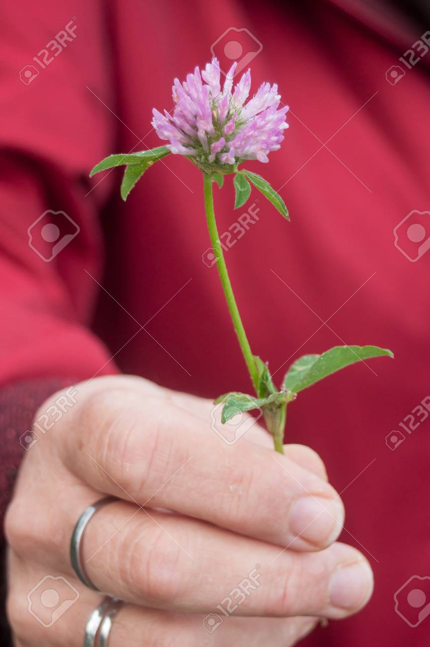 Closeup Of Purple Clover Flower In Hand Of Woman Stock Photo