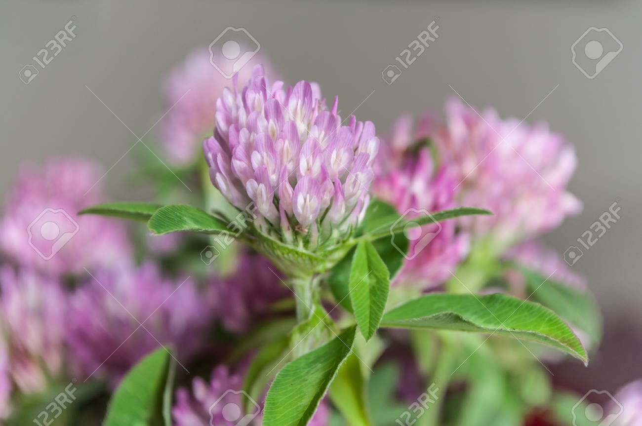 Closeup Of Bouquet Of Purple Clover Flower In Pot Stock Photo