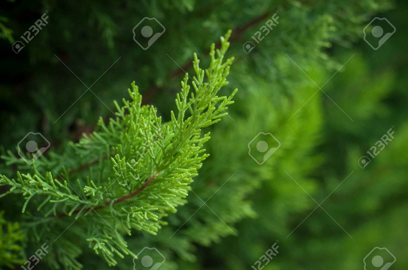 closeup of cypress tree branch in the hedge in garden - 88332223