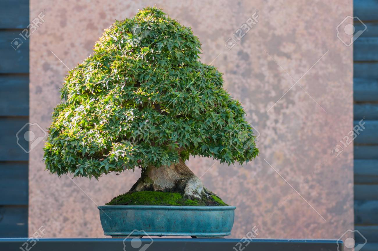 Closeup Of Japanese Maple Bonsai In A Japanese Garden Stock Photo Picture And Royalty Free Image Image 111630116