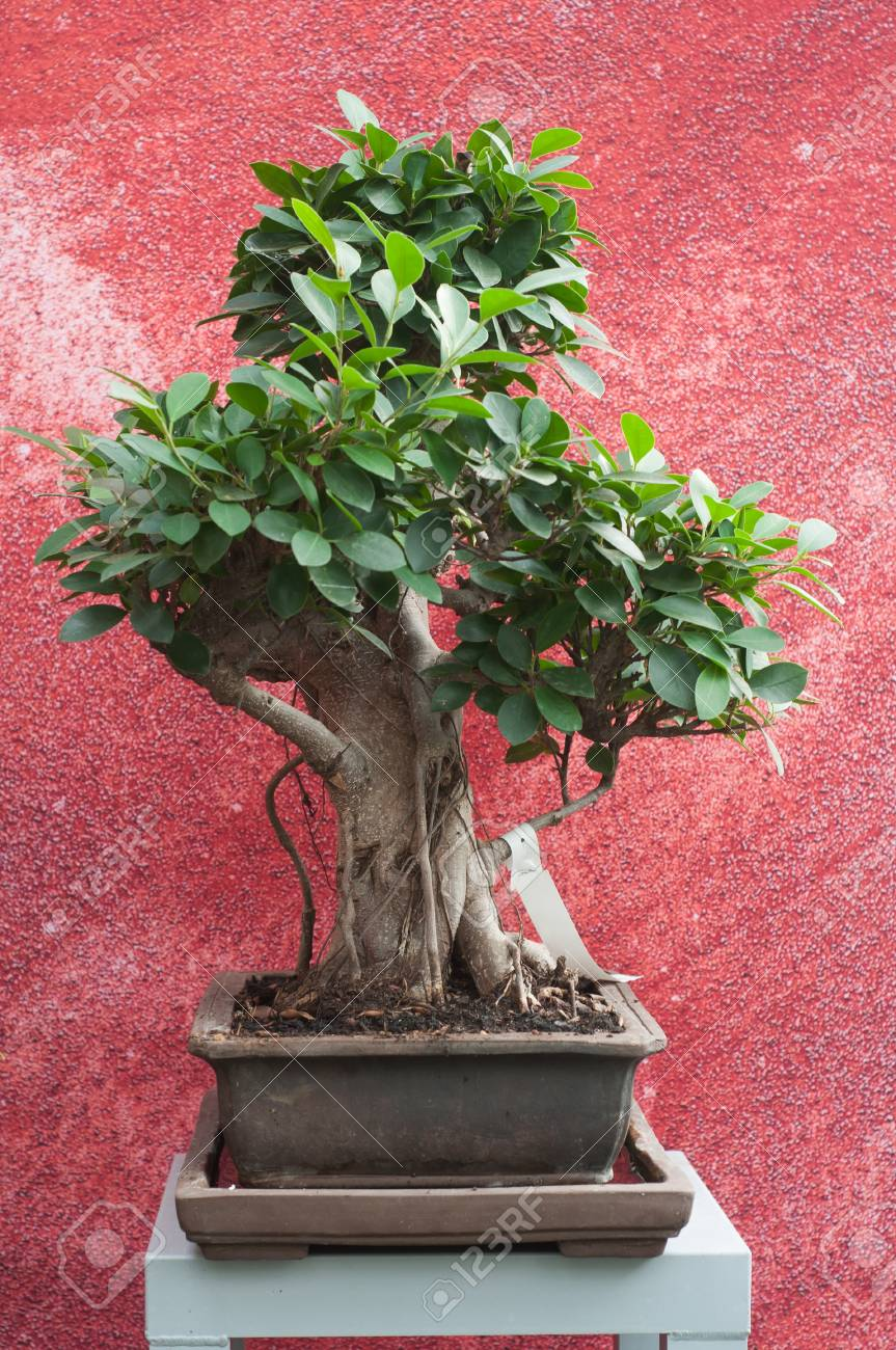 Closeup Of Ficus Retusa Bonsai In Pot On Red Wall Background Stock Photo Picture And Royalty Free Image Image 111630276