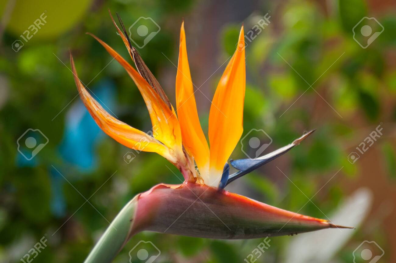 closeup of paradise bird flower in a tropical garden - 120959703