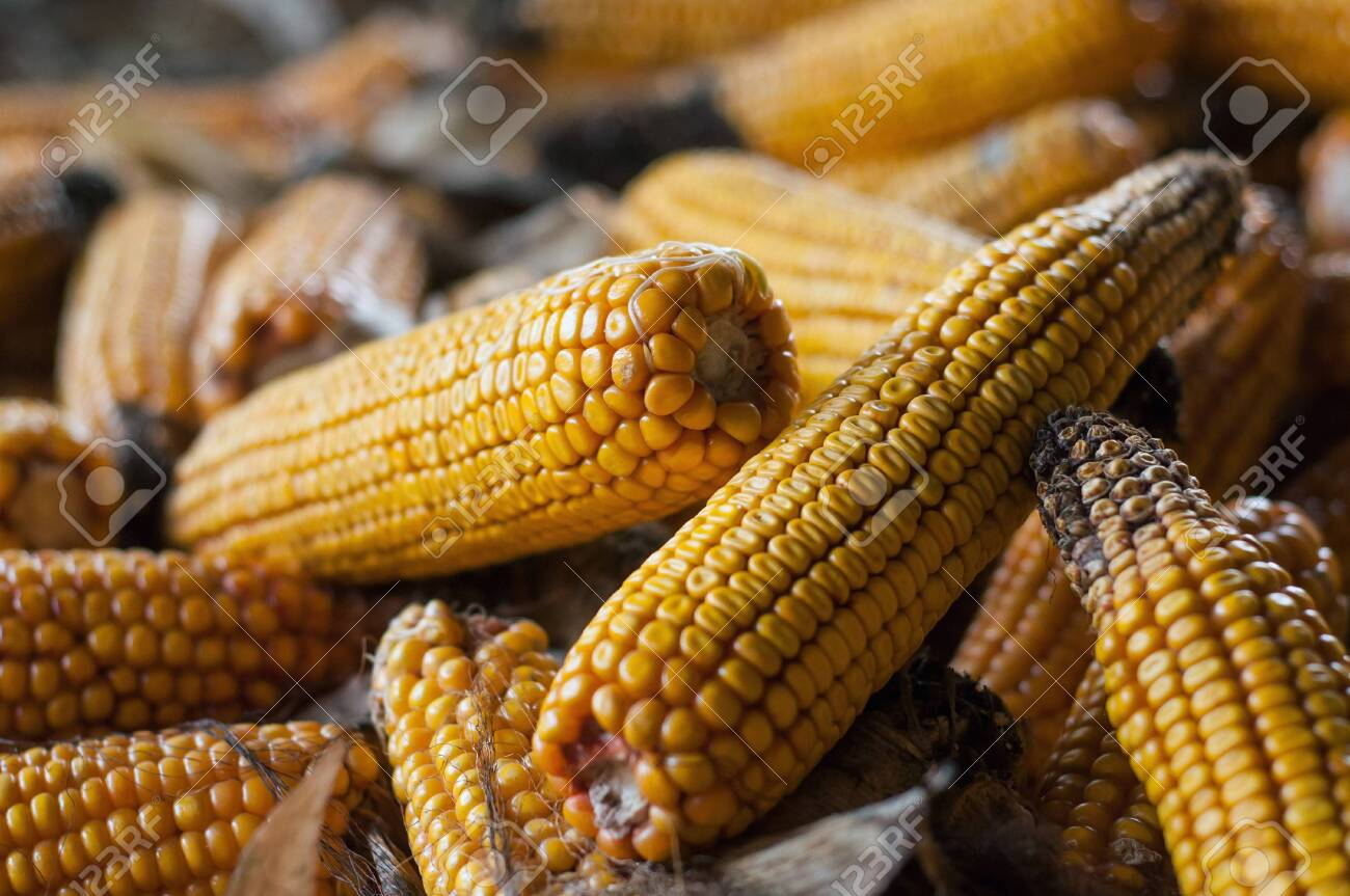 closeup of ears of dried corn stacked in a farm - 133127093