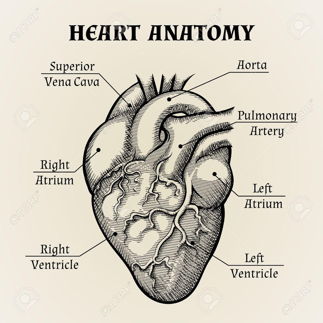 Ziemlich Herz Aorta Anatomie Galerie - Menschliche Anatomie Bilder ...