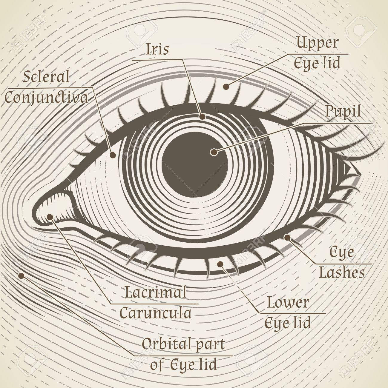 Vector Human Eye Etching With Captions Cornea Iris And Pupil