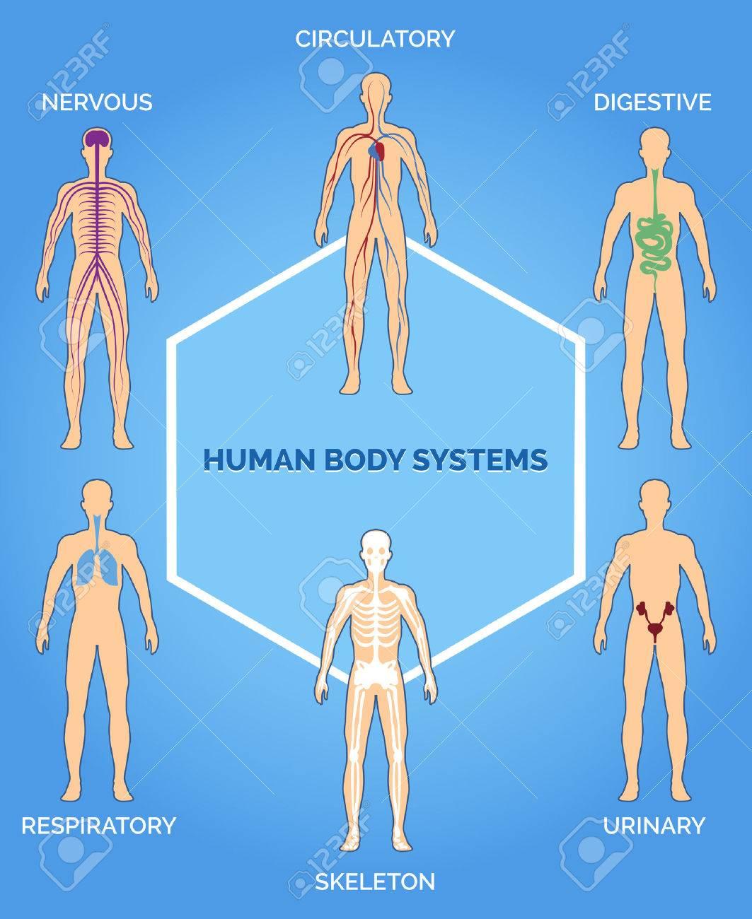 Vector Sistemas Del Cuerpo Humano Ilustración Ilustraciones ...