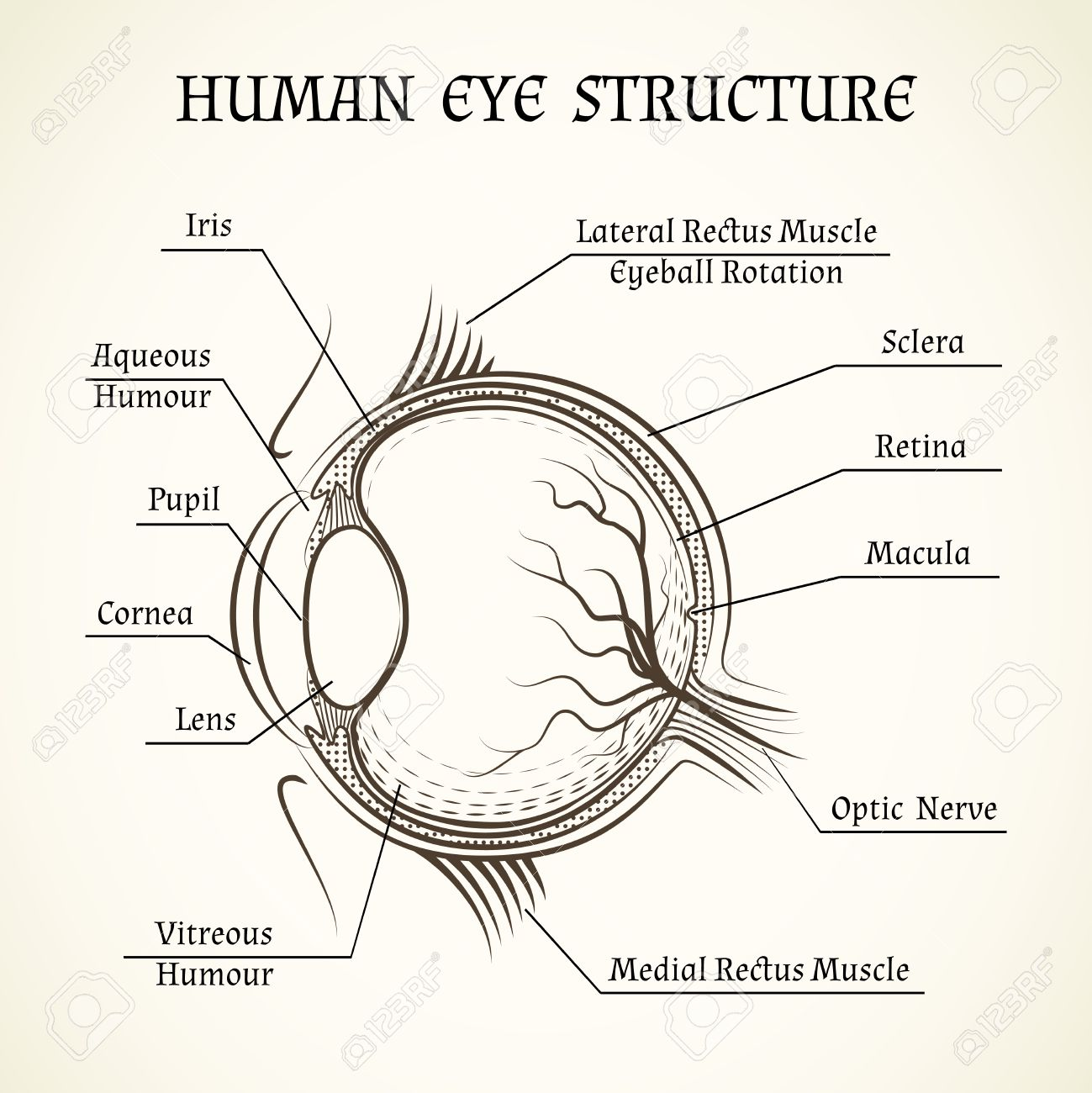 Vector Structure Of The Human Eye. Anatomy And Medicine, Iris ...