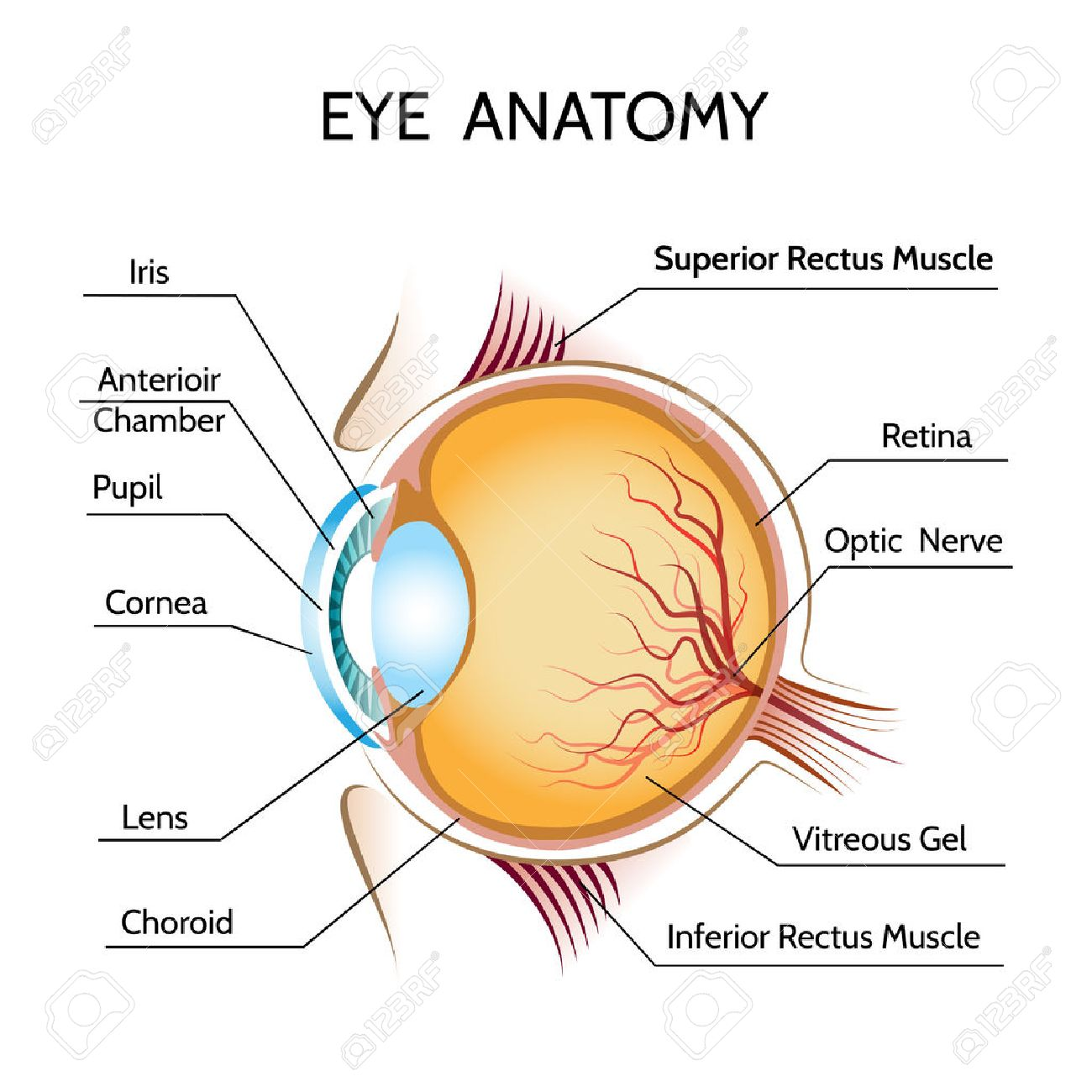Eye Anatomy Iris And Optic Royalty Free Cliparts, Vectors, And Stock ...