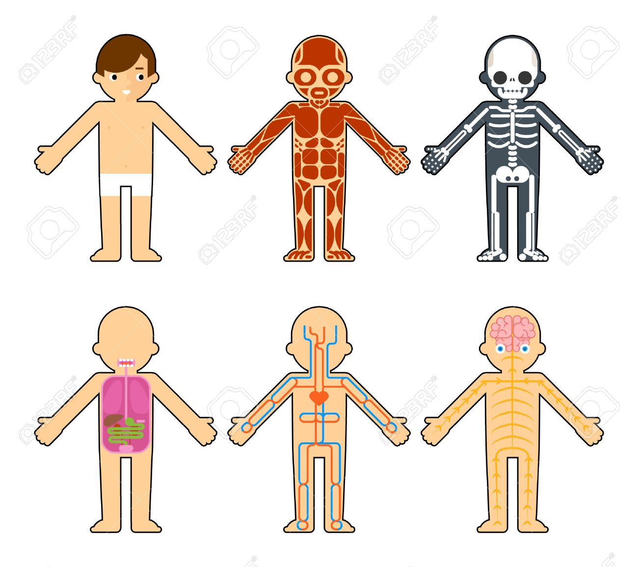 Body Anatomy For Kids The Skeleton And Muscles Nervous System