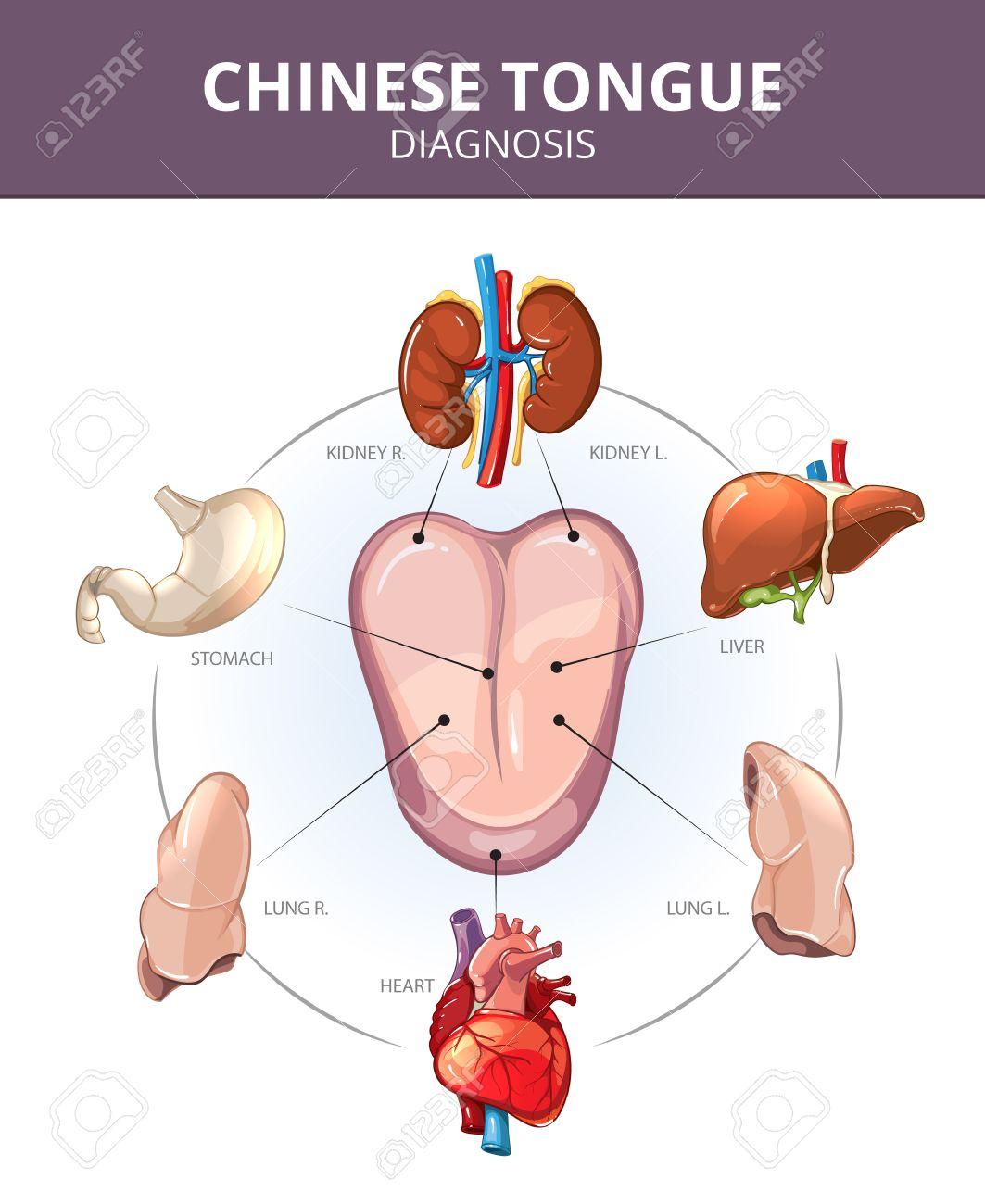 Chinese Tongue Diagnosis. Internal Organs Projections. Stomach ...