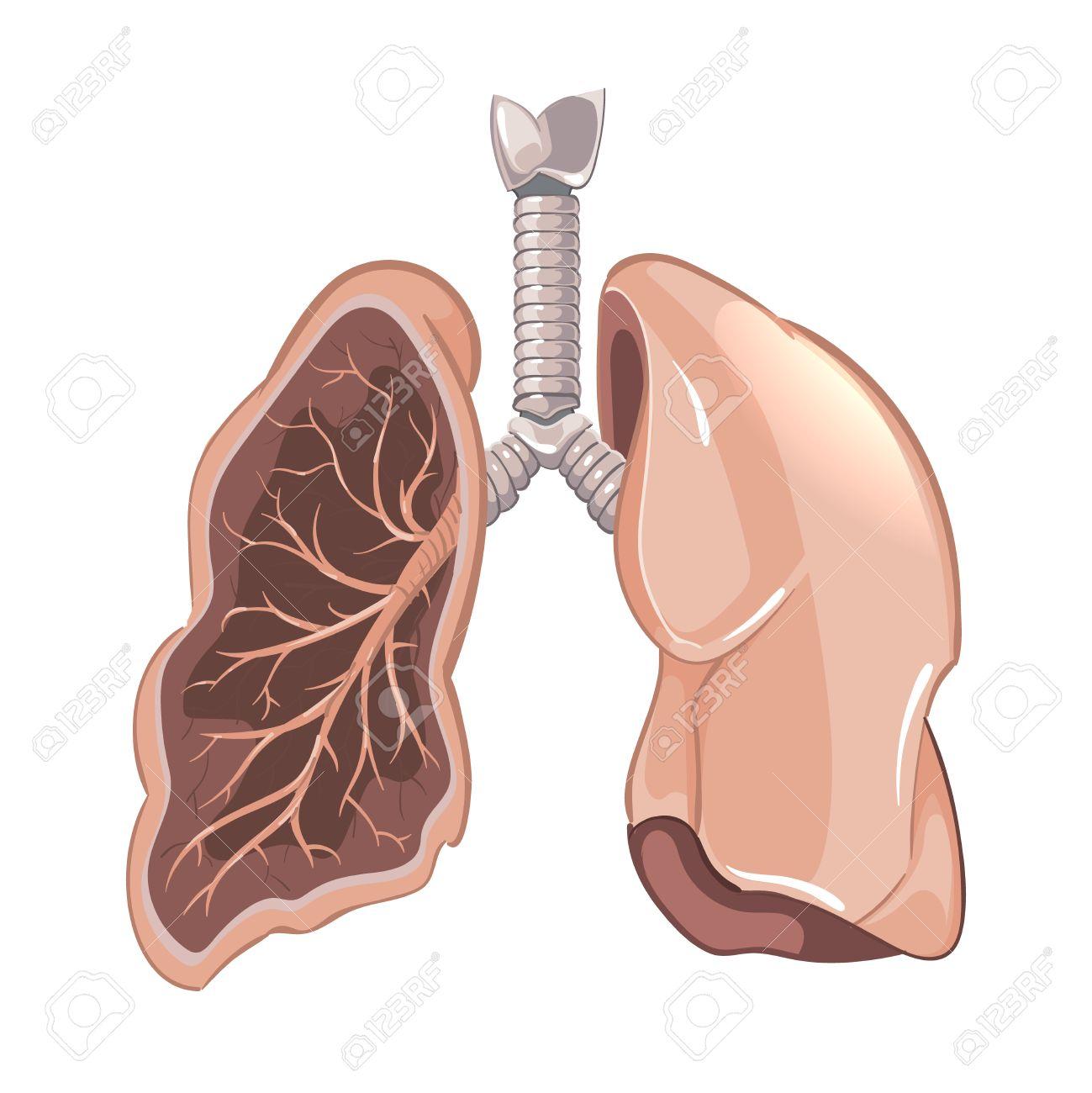 Los Pulmones Humanos Anatomía, Diagrama Vectorial Cáncer. Enfermedad ...