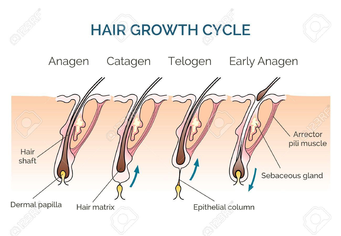 Hair growth cycle. Hair cycle, science phase hair, human hair growth. Vector illustration - 54826150