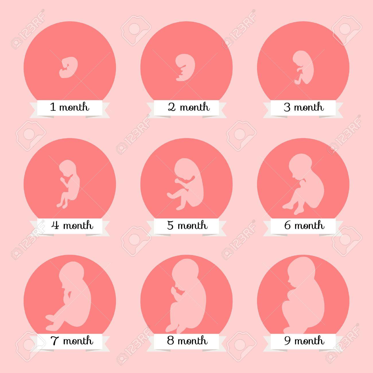 e6f245bad El desarrollo del embrión. etapas Humanos de crecimiento del feto de  ilustración embarazo vector.