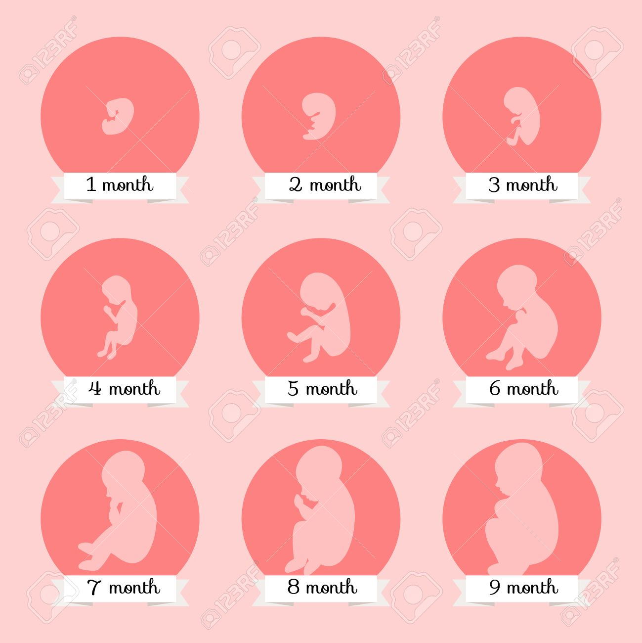 Embryo Entwicklung. Menschliche Fötus Wachstum Stadien Der ...