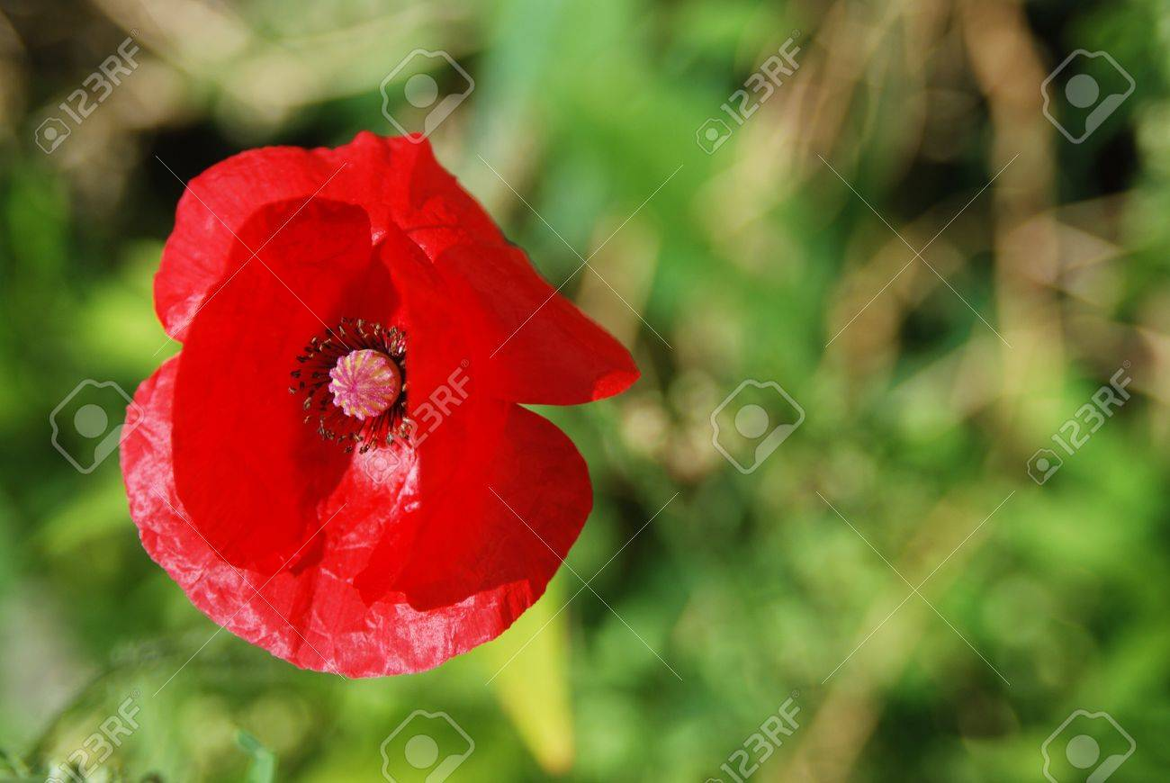 red poppy flower on a green background Stock Photo - 20221128