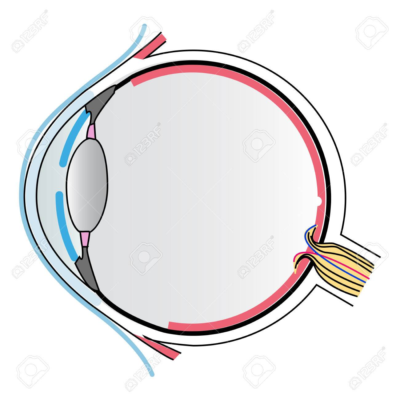 Eye Anatomy Royalty Free Cliparts Vectors And Stock Illustration