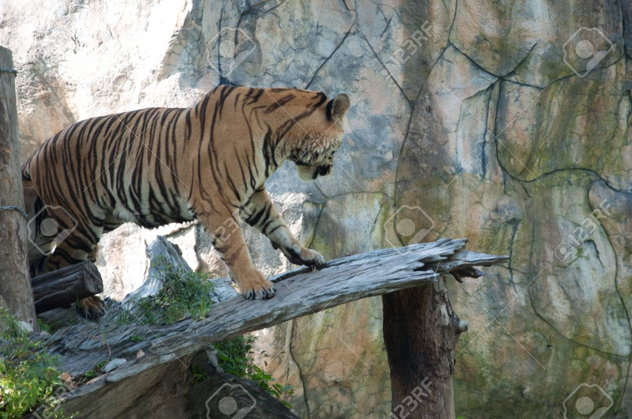 Sumatran Tiger Stock Photo - 14207396