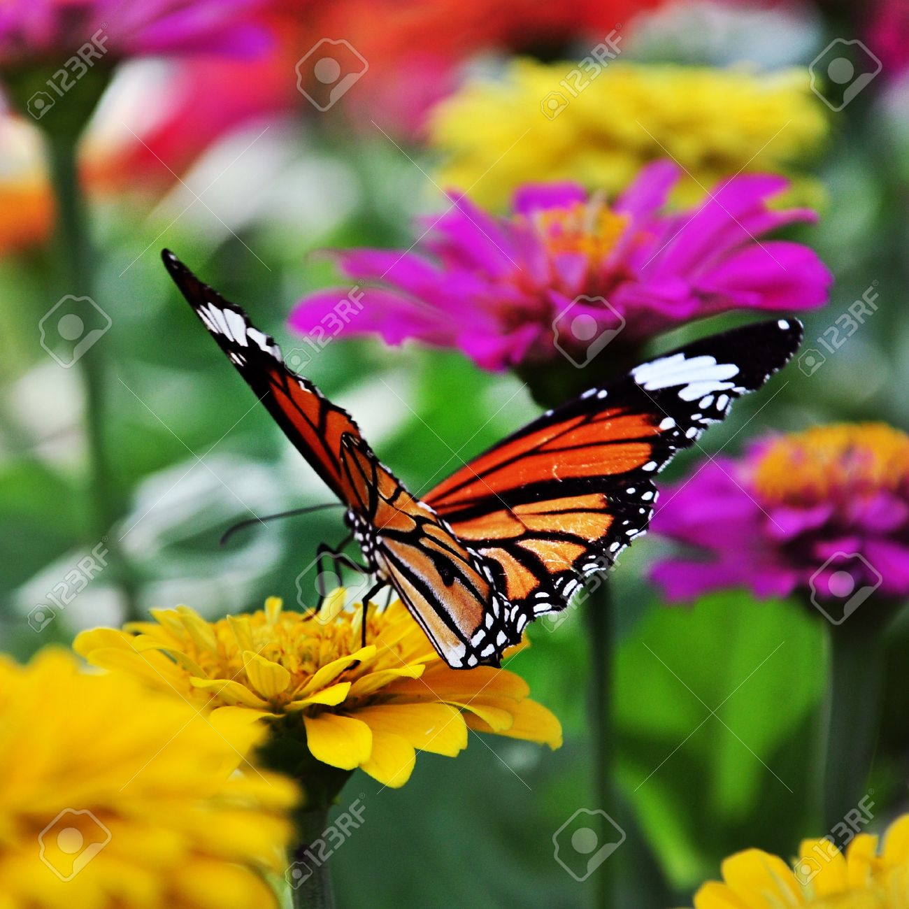 bokeh butterfly images u0026 stock pictures royalty free bokeh