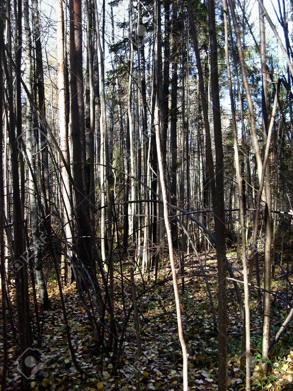 impenetrable thickets of wild forest - 75538373