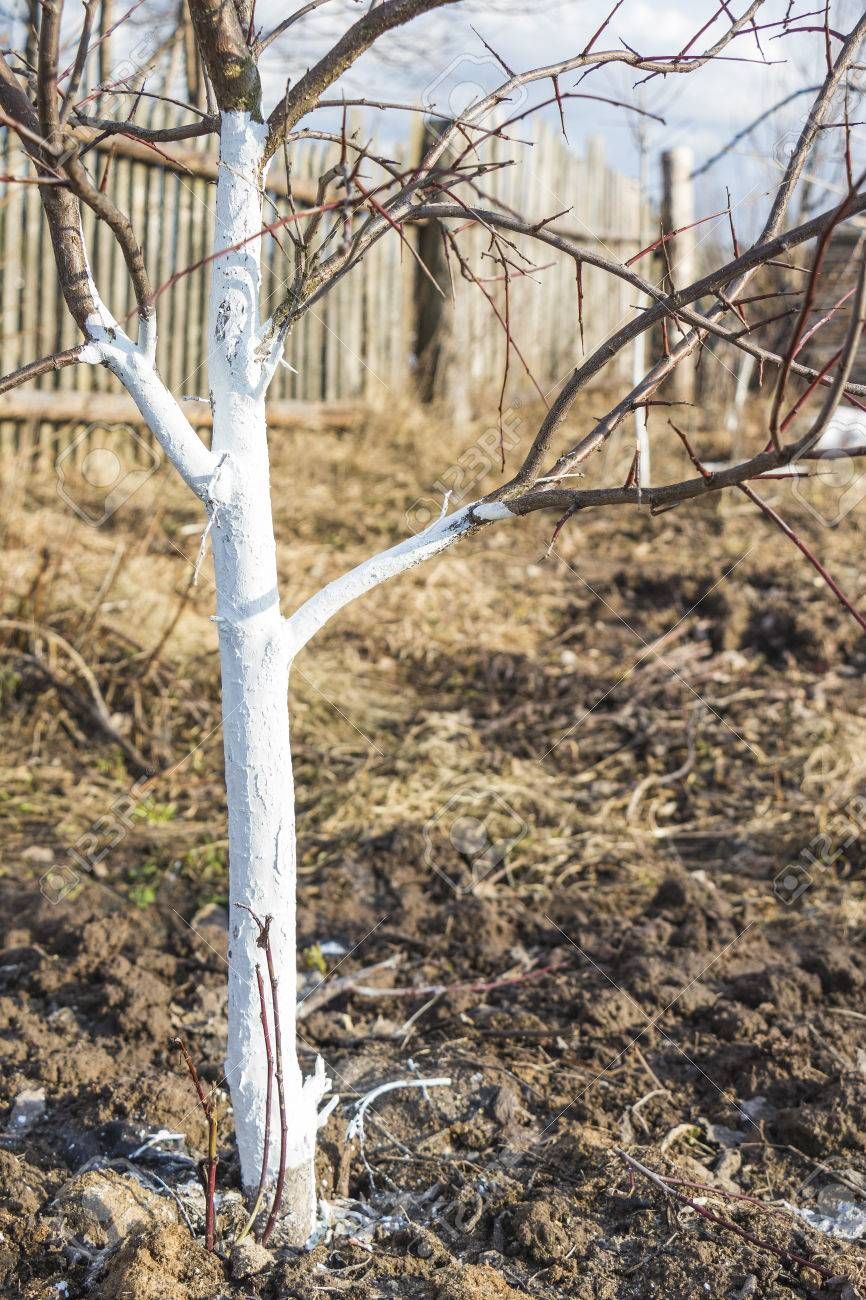 Spring whitewashing of young apple trees in the garden - 74937625