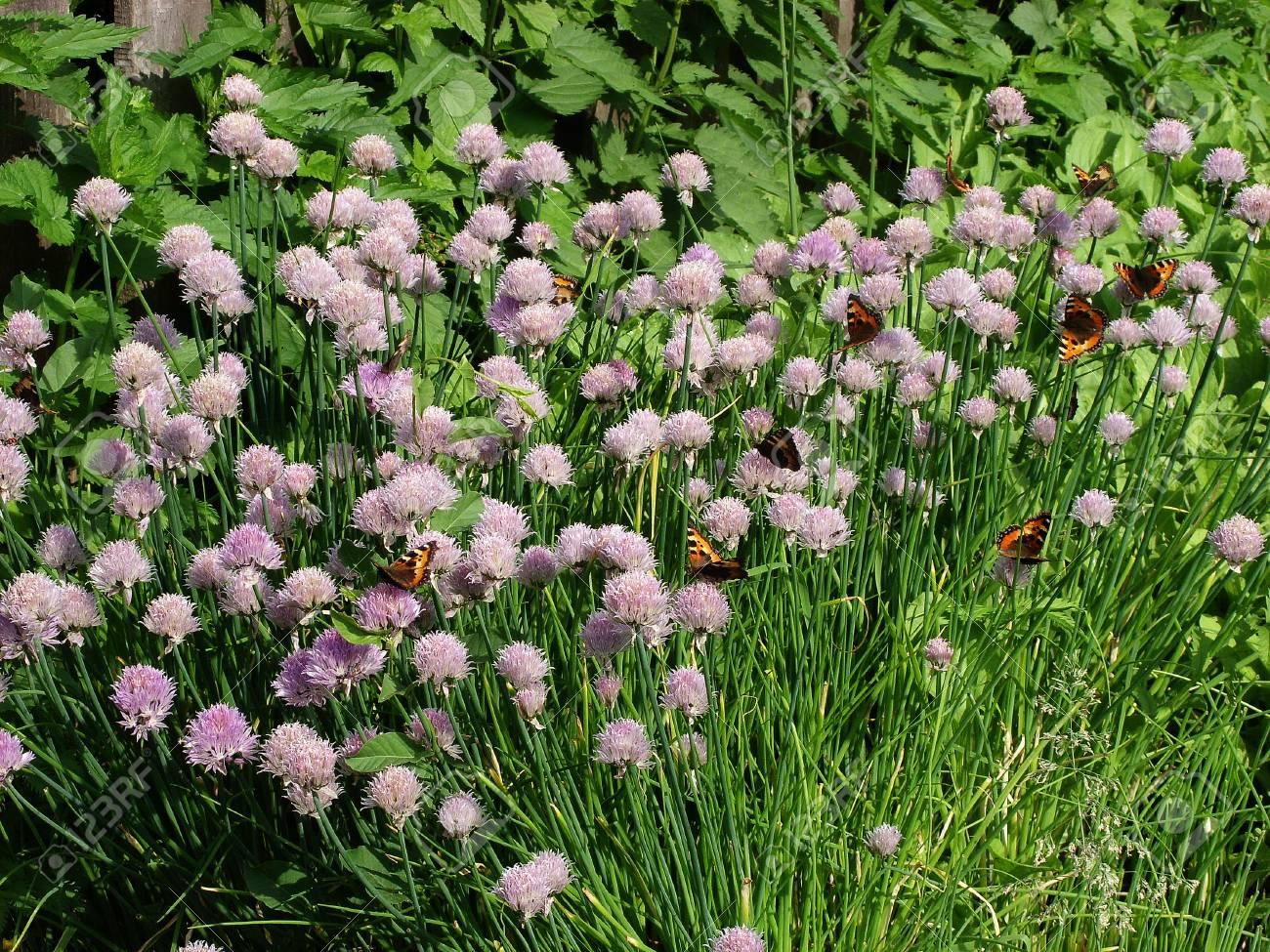 Orange butterflies sit on inflorescences with seeds of bulbous plants - 74615805