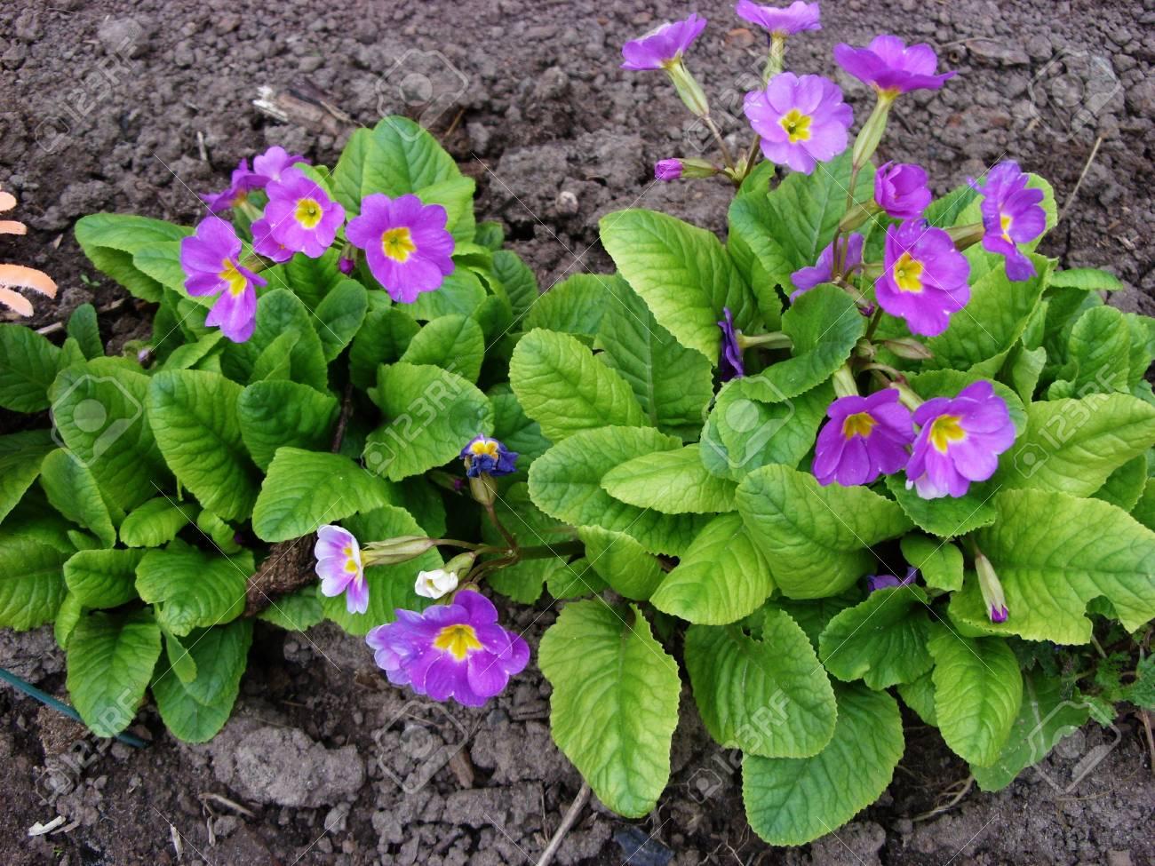 Flower in the garden flower primrose - 74615809