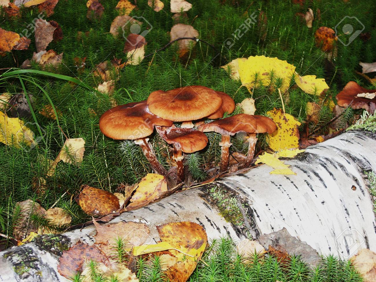 On moss is growing a lot of poisonous inedible and dangerous mushrooms - 74942305