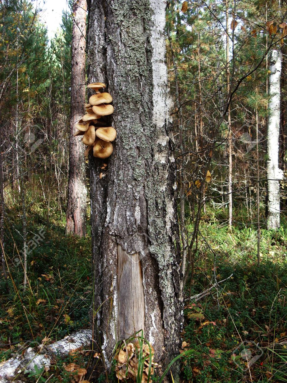 A lot of edible mushrooms grow on the trunk of a birch tree - 74942947