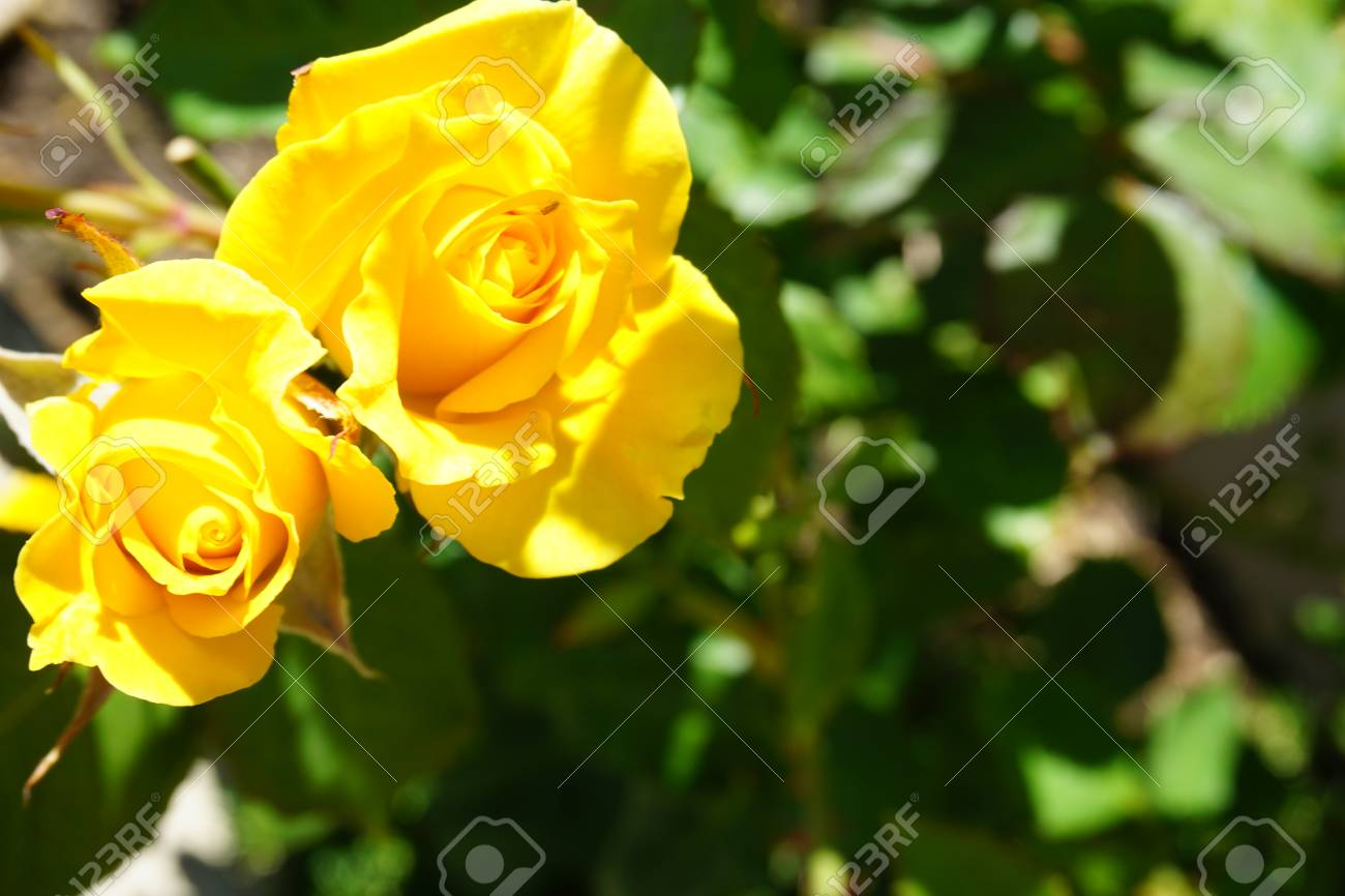 Romantic Beautiful Flowers In Garden Stock Photo Picture And