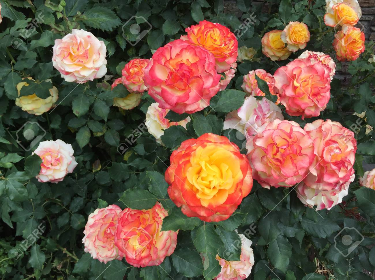Romantic beautiful flowers in garden stock photo picture and romantic beautiful flowers in garden stock photo 101907519 izmirmasajfo