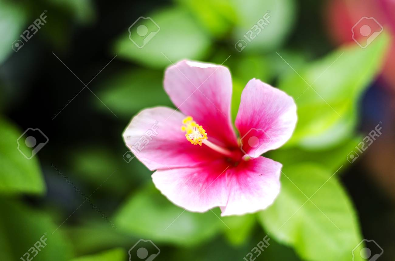 Pink Hibiscus Flowers Red Leaves Stock Photo Picture And Royalty