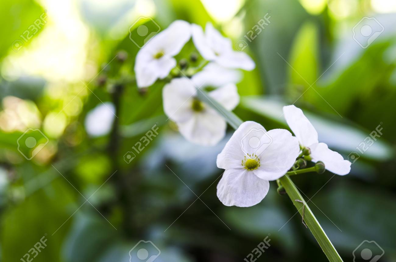 Amazon Is A White Flower With 3 Petals Round Petals Pistils