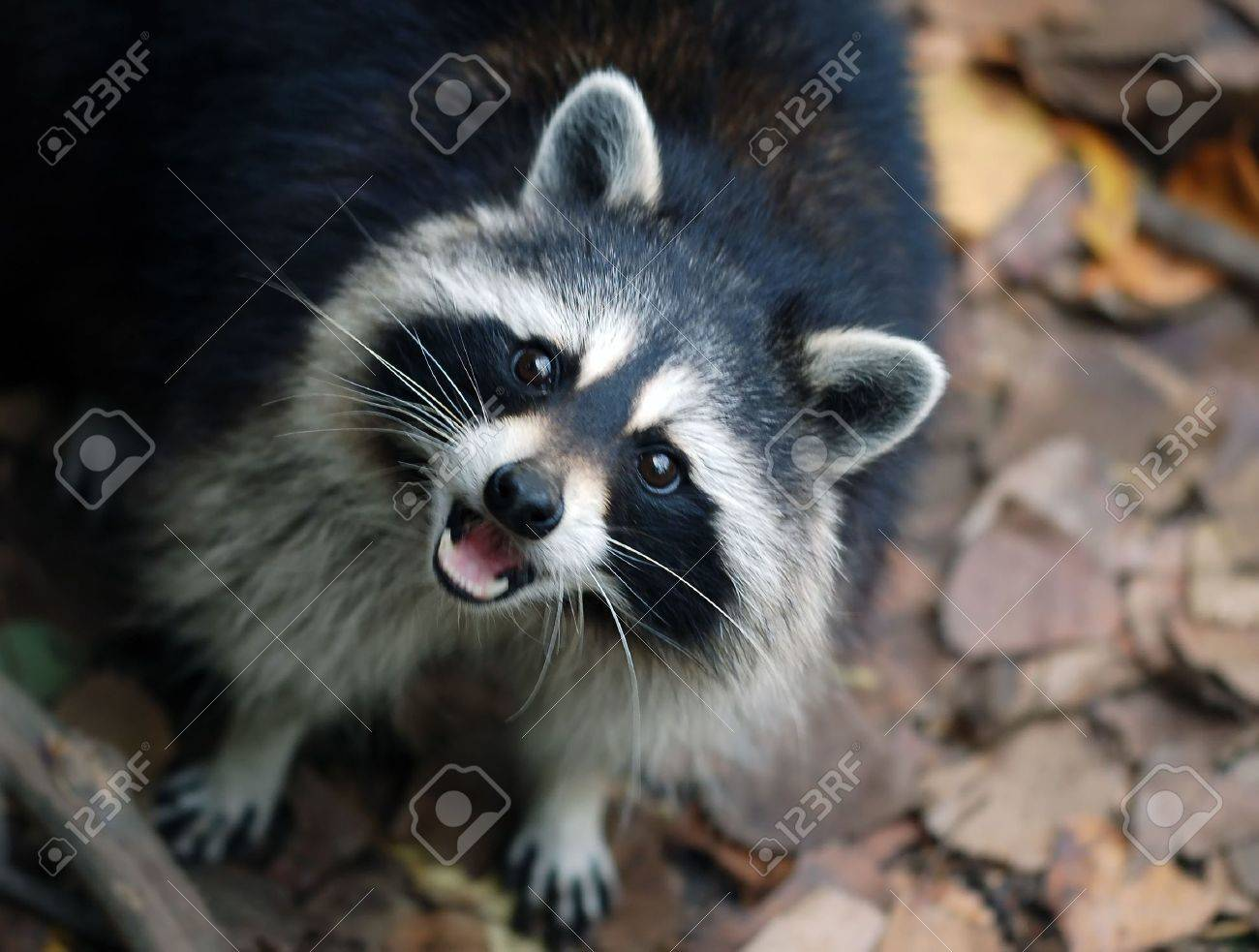 portrait of a raccoon procyon lotor looking up stock photo