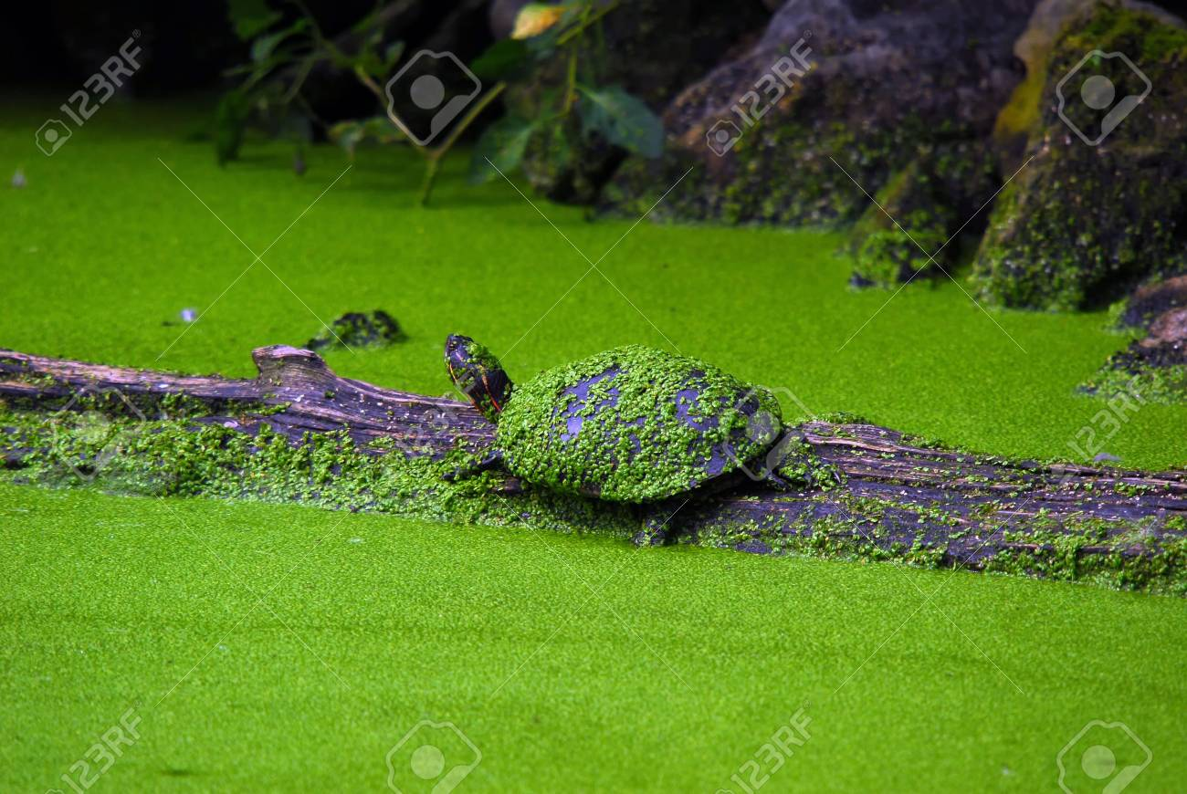 Snapping turtle on a wooden log Stock Photo - 3669498