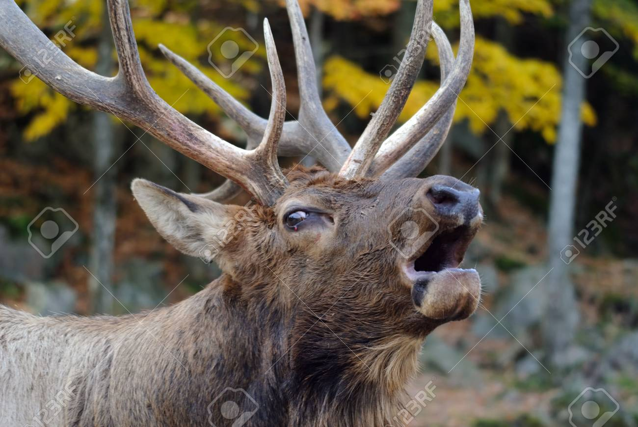 Close-up portrait a a Wapiti in the Autumn season Stock Photo - 5234521