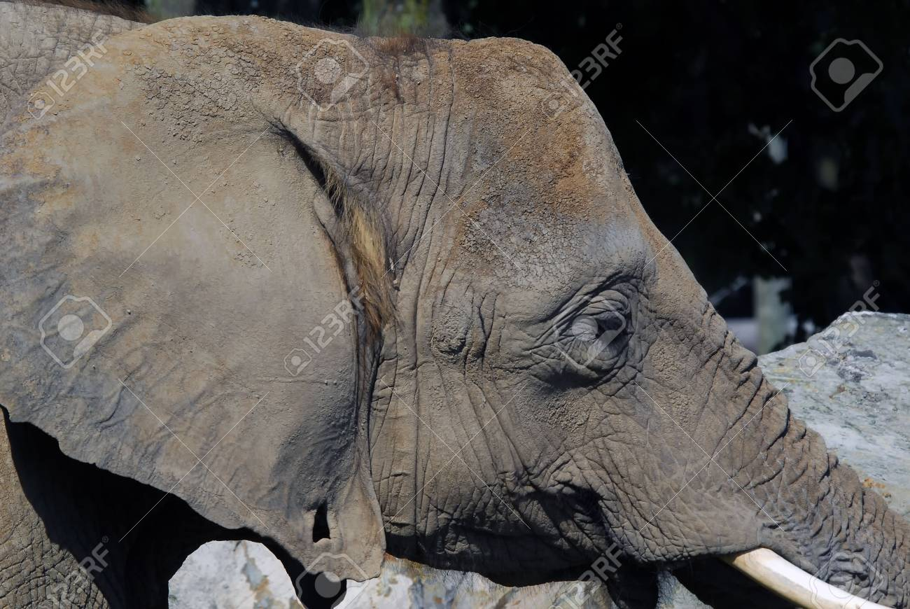 Close-up portrait of a big African elephant Stock Photo - 5247770
