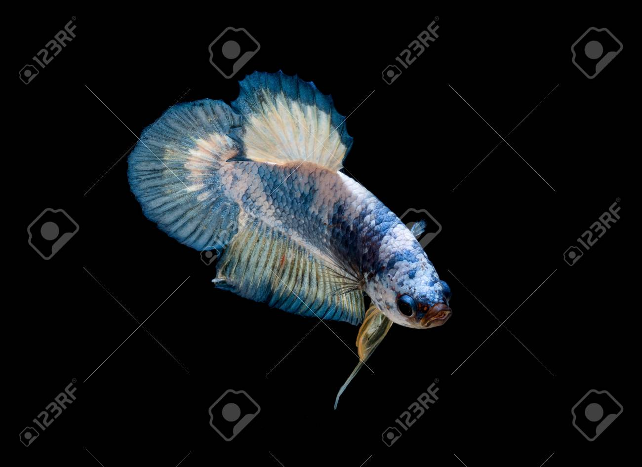 Betta Fish Fight In The Aquarium Stock Photo Picture And Royalty