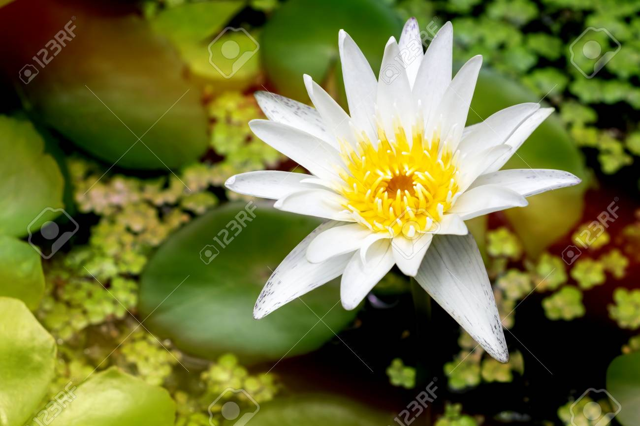 Beautiful White Lotus Flower With Green Leaf In Pond Is Complimented