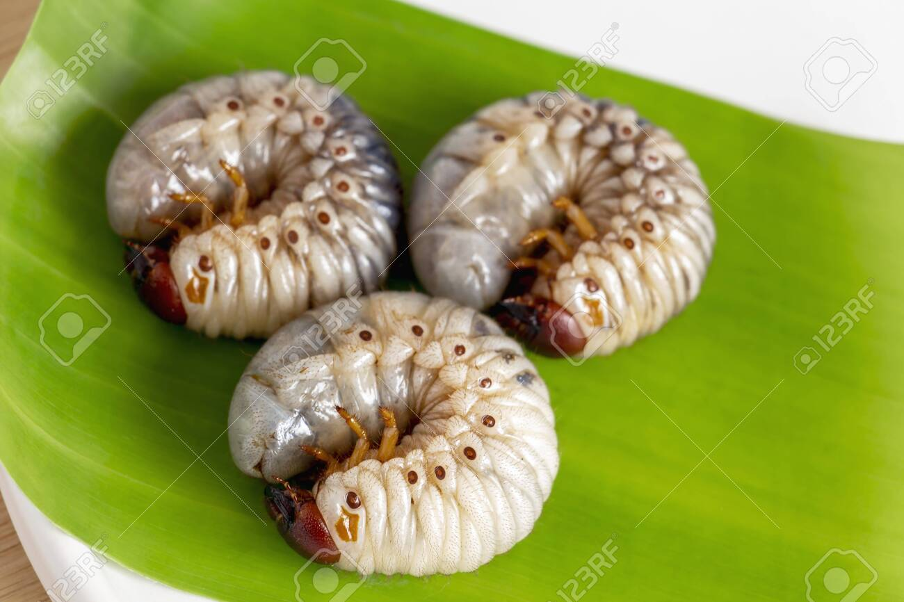 Grub Worm Or Oryctes Rhinoceros Beetle Insects Food For Eating