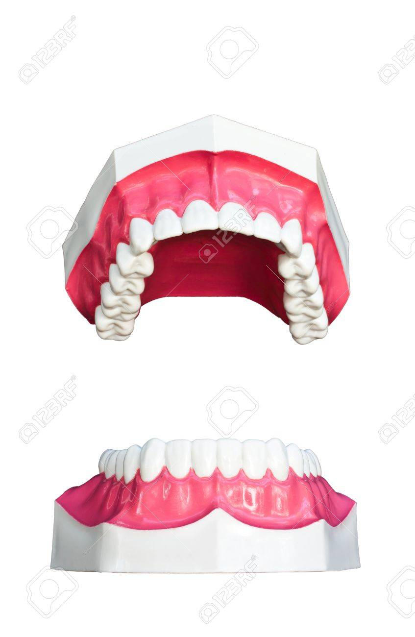 Tooth model isolated on white background Stock Photo - 13892866
