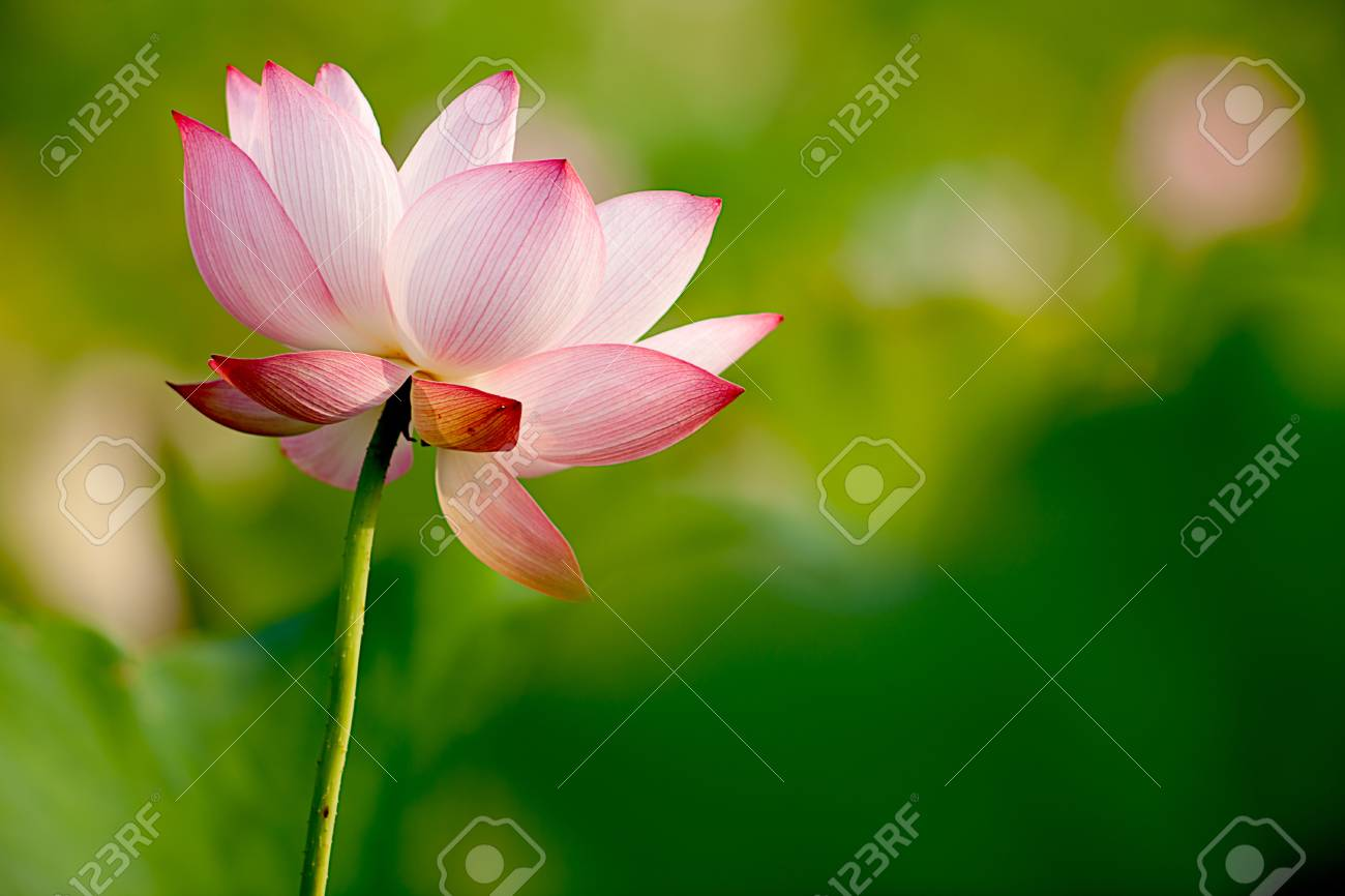 Pink Lotus with nice green background Stock Photo - 7101386